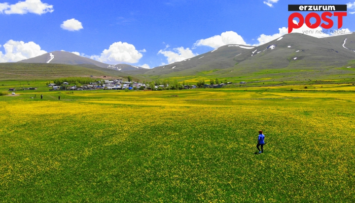 Erzurum'da sarı çiçek zamanı!